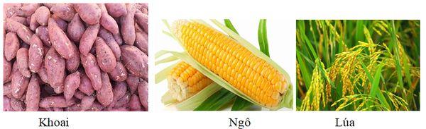 Tinh bột có trong các loại củ, lương thực như gạo, ngô…